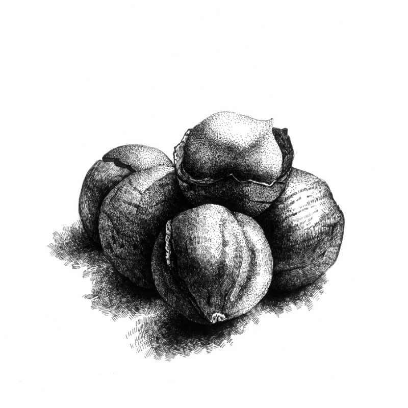 钢笔画坚果黑白写实插画