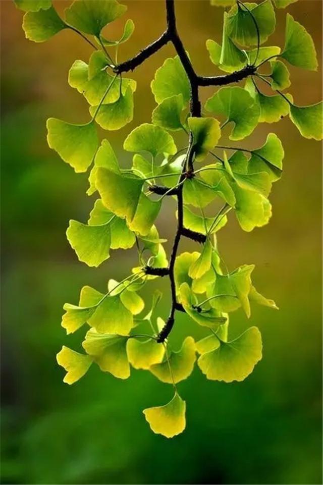 妙搭| 植物素材-银杏